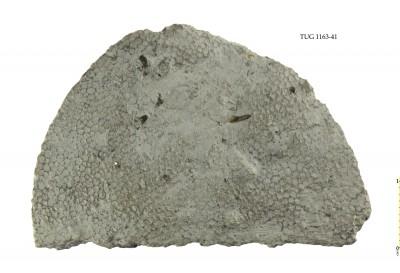 Favosites gothlandicus, TUG 1163-41