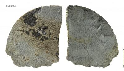 Favosites gothlandicus, TUG 1163-43