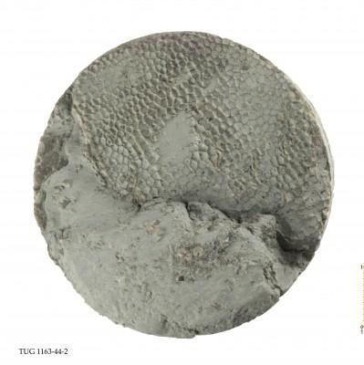 Favosites gothlandicus, TUG 1163-44-2