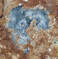 Orthisocrania planissima planissima (Eichwald), TUG 1209-33-1