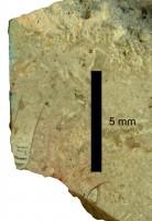 Pomerantsoceras tibia Kröger, 2007, TUG 1227-18
