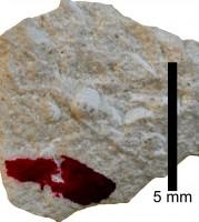 Pomerantsoceras tibia Kröger, 2007, TUG 1227-21