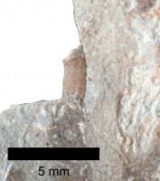 Pomerantsoceras tibia Kröger, 2007, TUG 1227-48