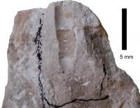 Pomerantsoceras tibia Kröger, 2007, TUG 1227-63