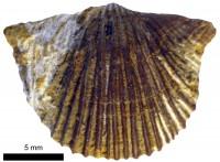 Nicolella oswaldi oswaldi (Buch, 1861), TUG 1237-21