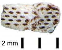 Pachydictya crassa Hall, TUG 1298-3