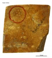 Cyclocrinites spasskii Eichwald em. Stolley, TUG 1318-5