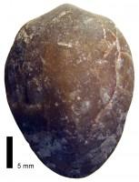 Atrypoidea (Atrypoidea) prunum Dalman, 1828, TUG 1324-15