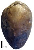 Atrypoidea (Atrypoidea) prunum Dalman, 1828, TUG 1324-16