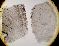Stigmatella crenulata Ulrich & Bassler, 1904, TUG 1349-17