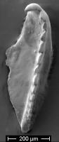 <i>Oenonites sp.</i><br />Kalana Quarry ,  m, Raikküla Stage