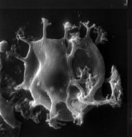 Cymatiogalea aspergillum Martin, 1988, TUG 1520-34
