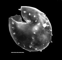 Cymatiogalea aff. cuvillieri (Deunff) Deunff, TUG 1520-37