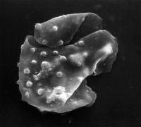 Stelliferidium pseudoornatum Pittau, 1985, TUG 1520-41