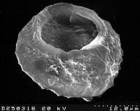 Stelliferidium modestum (Gorka, 1967) Deunff, Gorka and Rauscher, 1974, TUG 1526-22