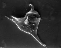 Veryhachium dumontii Vanguestaine, 1974, TUG 1528-15