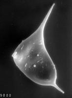 Veryhachium dumontii Vanguestaine, 1974, TUG 1528-21