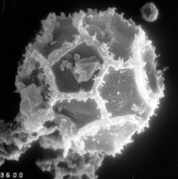 Cristallinium randomense (Martin, 1981) Martin, 1988, TUG 1528-37