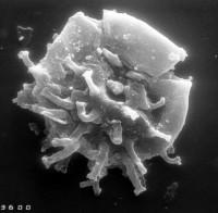 Stelliferidium cortinulum (Deunff,1961) Deuff, Gorka & Rauscher 1974, TUG 1528-9
