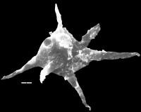 Polygonium sexiradiatum (Timofeev, 1959) Volkova, 1990, TUG 1538-14