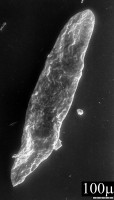 Lunulidia lunula (Eisenack, 1951) Eisenack, 1958, TUG 1540-1