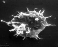Acanthodiacrodium formosum Gorka, 1967, TUG 1540-8