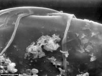 Leiosphaeridia tenuissima Eisenack, 1958, TUG 1544-5