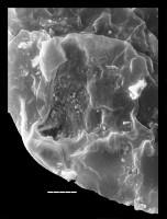 Leiosphaeridia tenuissima Eisenack, 1958, TUG 1545-2