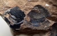 Siphonotreta unguiculata Eichwald, 1829, TUG 1574-1