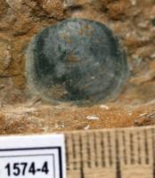 Orthisocrania planissima planissima (Eichwald), TUG 1574-4