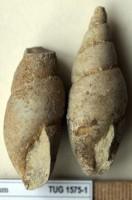 Subulites (Subulites) amphora (Eichwald, 1854), TUG 1575-1