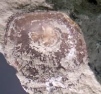 Orthisocrania planissima planissima (Eichwald), TUG 1577-3