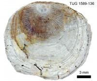 Orthisocrania planissima plan. (Eichwald), TUG 1589-136