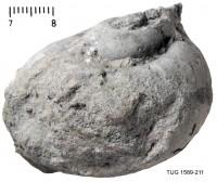 Holopea simplex Koken et Perner, 1925, TUG 1589-211
