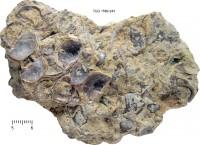 Sowerbyellinae