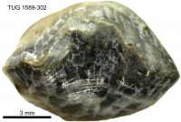 Parastrophina dura (Oraspõld, 1956), TUG 1589-302