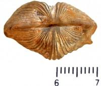 Neoplatystrophia lutkevitchi lutkevitchi (Alichova, 1951), TUG 1589-309