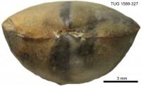 Parastrophina dura (Oraspõld, 1956), TUG 1589-327