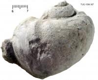Holopea ampullacea (Eichwald, 1840), TUG 1589-367