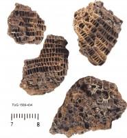 Favosites  gothlandicus Lamarck, TUG 1589-434