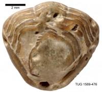 Calymene blumenbachii (Brongniart, 1817), TUG 1589-476