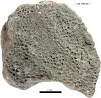 Favosites pseudoforbesi ohesaarensis Klaamann, 1962, TUG 1589-551