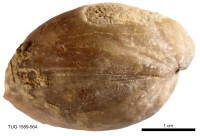 Atrypoidea (Atrypoidea) prunum Dalman, 1828, TUG 1589-564
