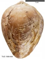 Atrypoidea (Atrypoidea) prunum Dalman, 1828, TUG 1589-565