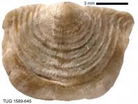 Leptaena cf. depressa (J. de C. Sowerby, 1824), TUG 1589-645