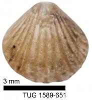 Dalejina hybrida (J. de C. Sowerby, 1839), TUG 1589-651