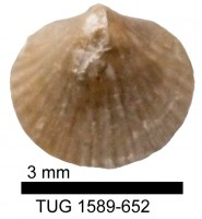Dalejina hybrida (J. de C. Sowerby, 1839), TUG 1589-652