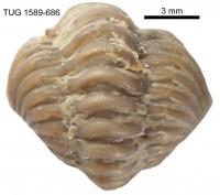 Calymene blumenbachii (Brongniart, 1817), TUG 1589-686