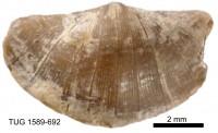 Eoplectodonta (Eoplectodonta) duvalii (Davidson, 1847), TUG 1589-692