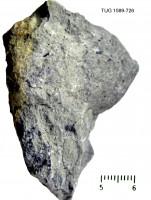 Amphorichnus papillatus Ralf Männil, 1966, TUG 1589-726